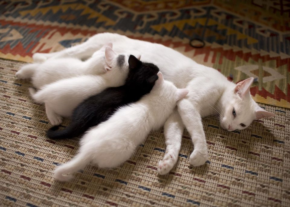Odd one out, kittens suckling