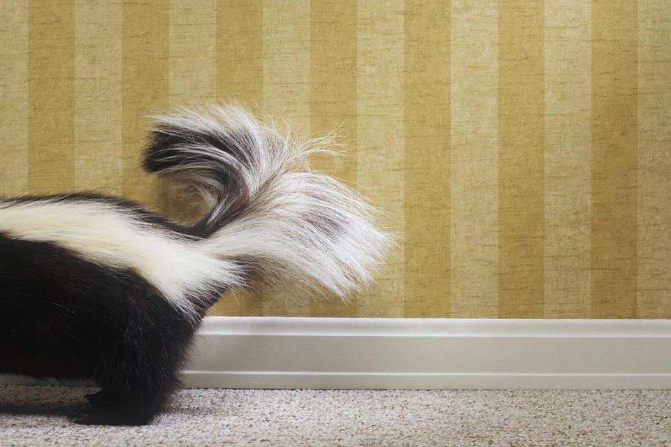 Skunk standing alongside wall, close-up