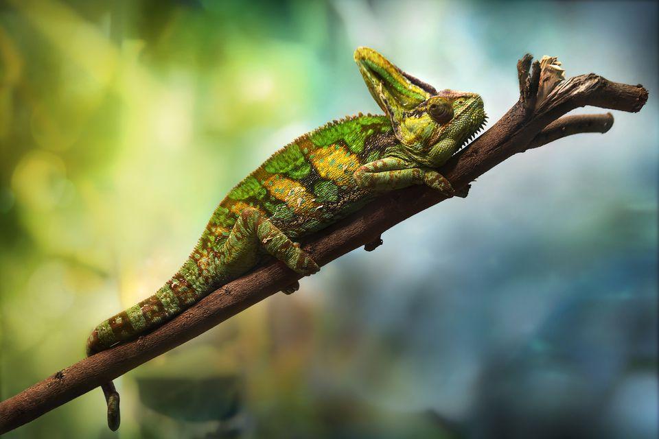 Veiled chameleon resting on a branch