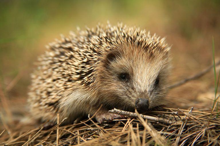 Hedgehogs - Erinaceidae
