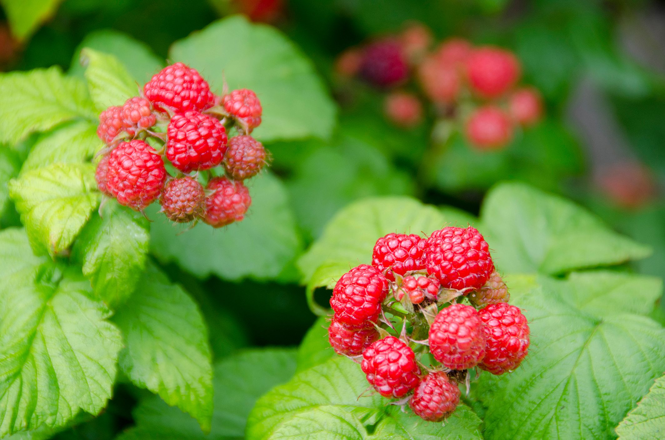 How And When To Prune Raspberries Amp Blackberries