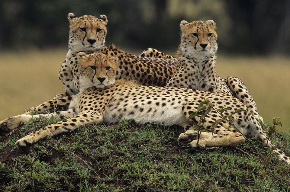 Three cheetahs laying on a mound