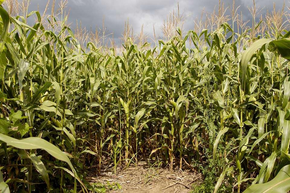 Corn field maze (maize). Dead end.