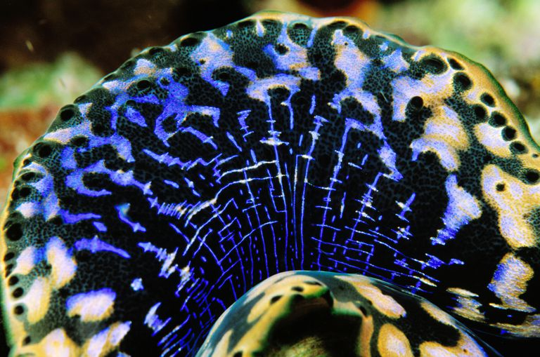 Giant Clam Mantle / Ernest Manewal / Lonely Planet Images / Getty Images
