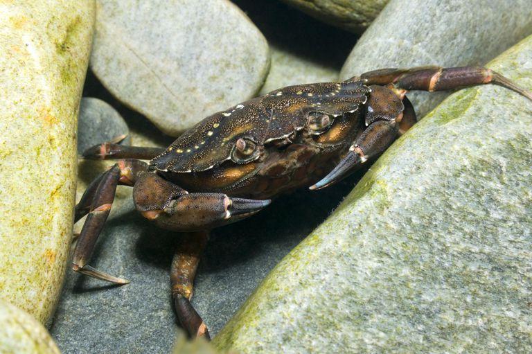 Green shore crab (Carcinus maenas), Scotland