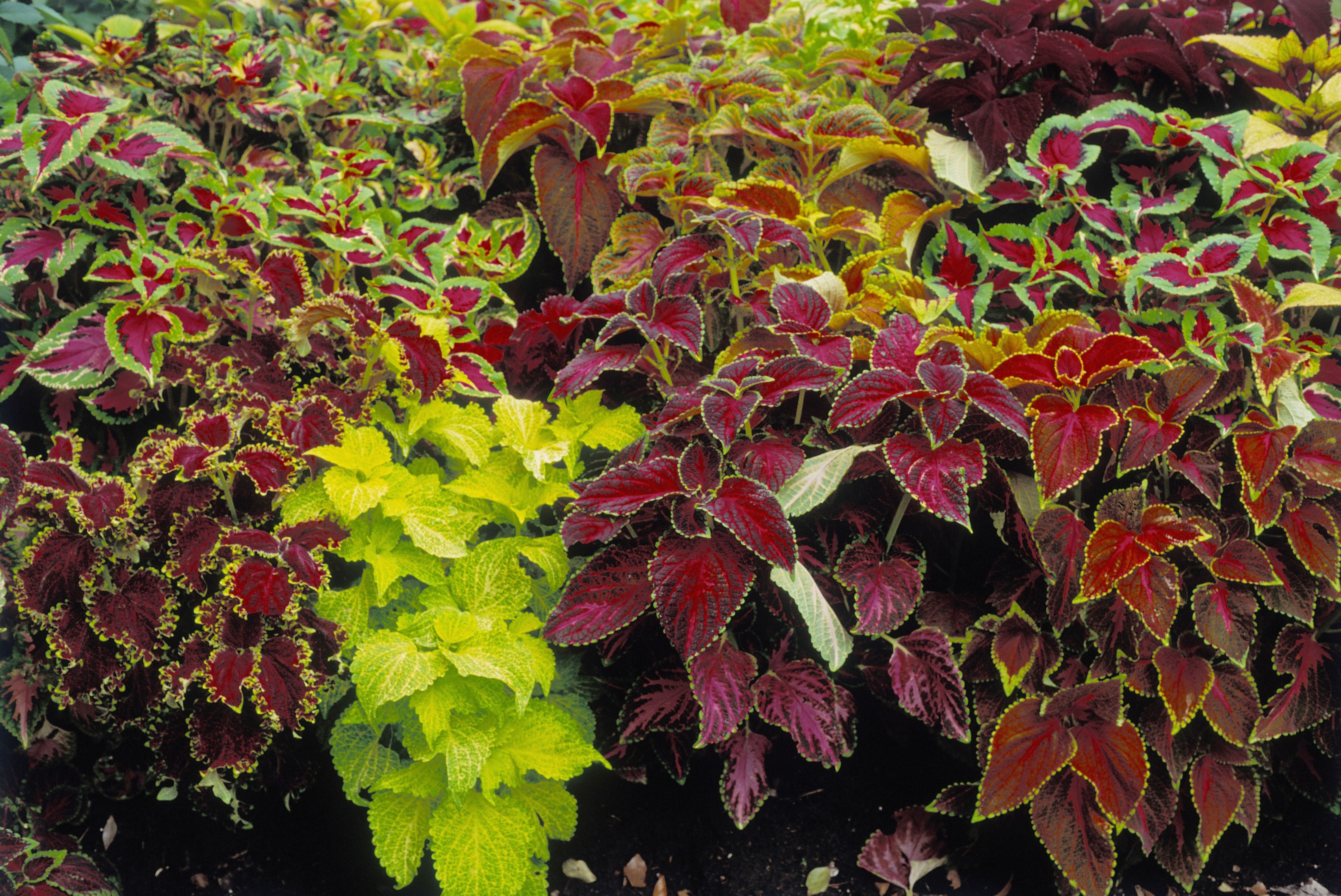 How to Grow Coleus Plants in Pots