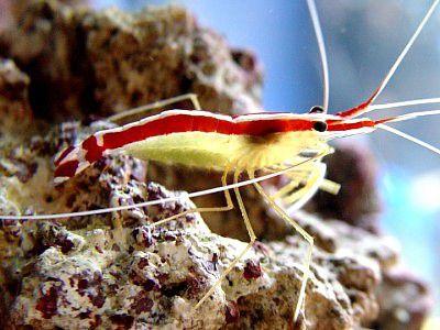 Dena Zingelewicz's Pacific Cleaner Shrimp