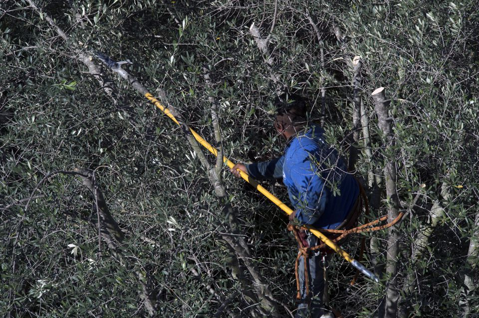Person trimming trees with a pole pruner.