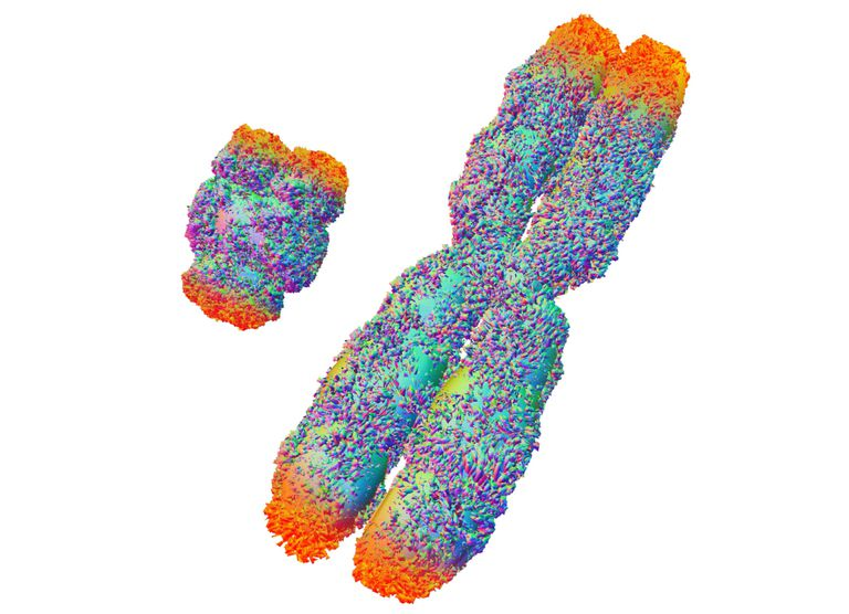 Y and X Sex Chromosomes