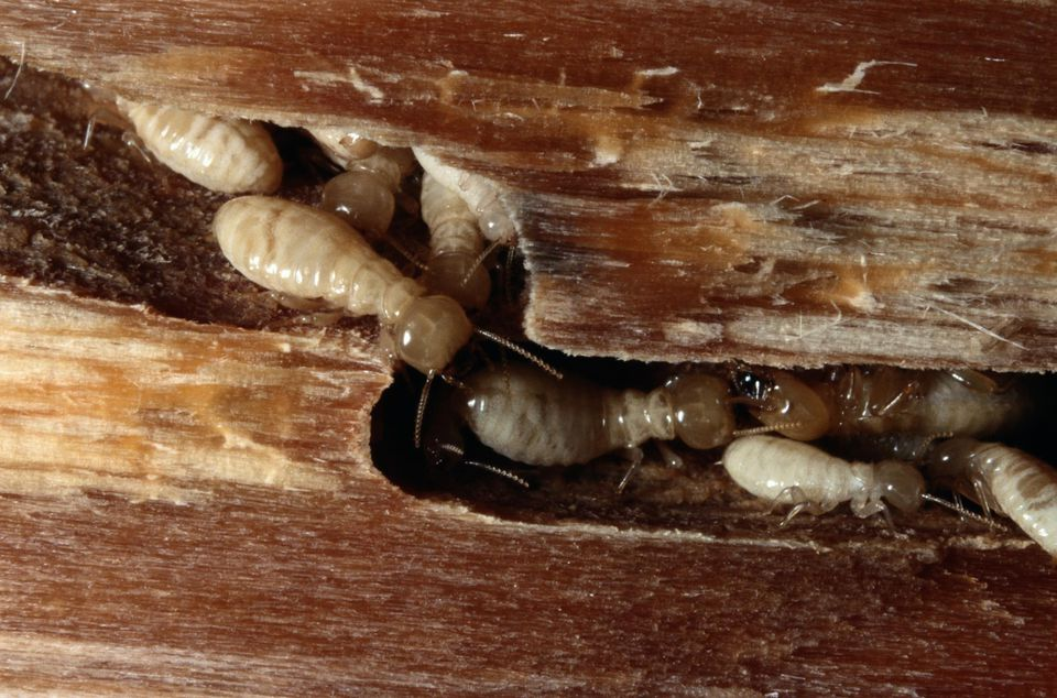 Termites (Isoptera sp.) close-up