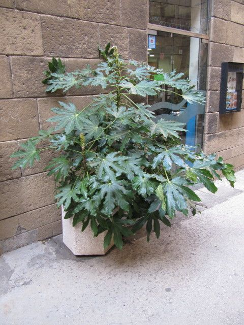 How To Cultivate Fatsia Japonica Indoors