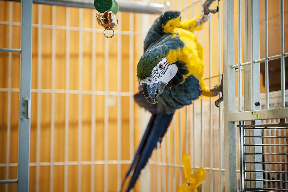 A Blue-and-Yellow Macaw looks out from a cage at Tori-no Iru Cafe on February 23, 2014 in Tokyo, Japan.