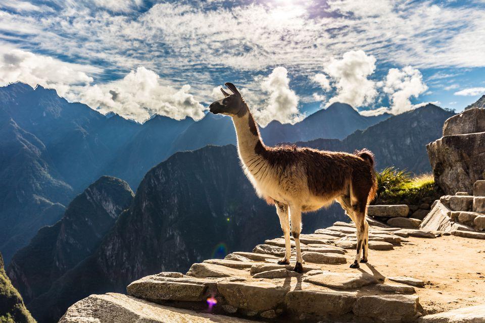 Alpaca overlooking ruins of Machu Picchu, Peru