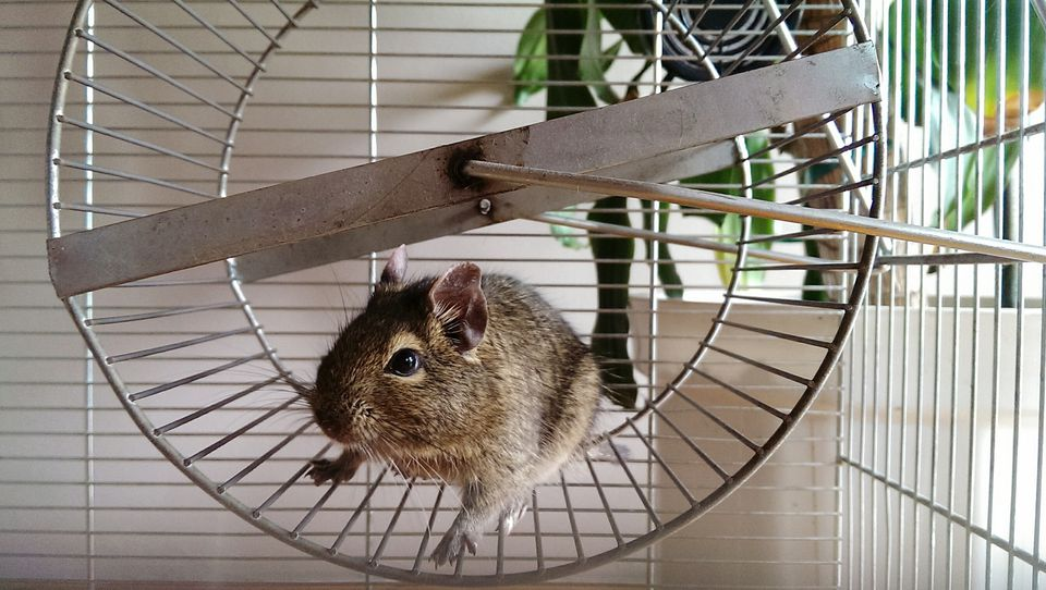 Hamster on wheel