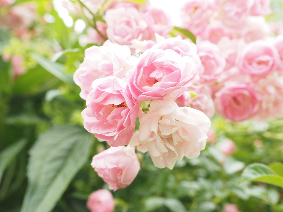 Types Of Roses: Pictures Presenting A Variety Of Colors