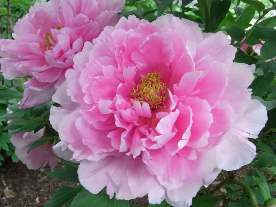 Close up of pink peony