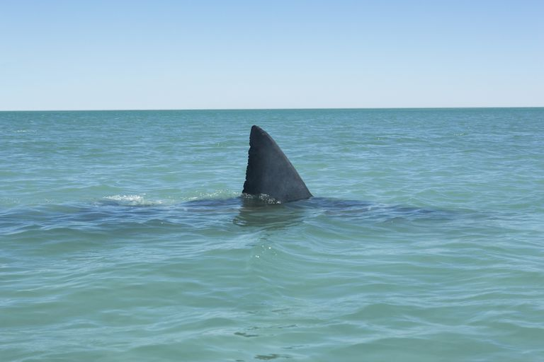 Fin of Great white shark breaking surface of sea