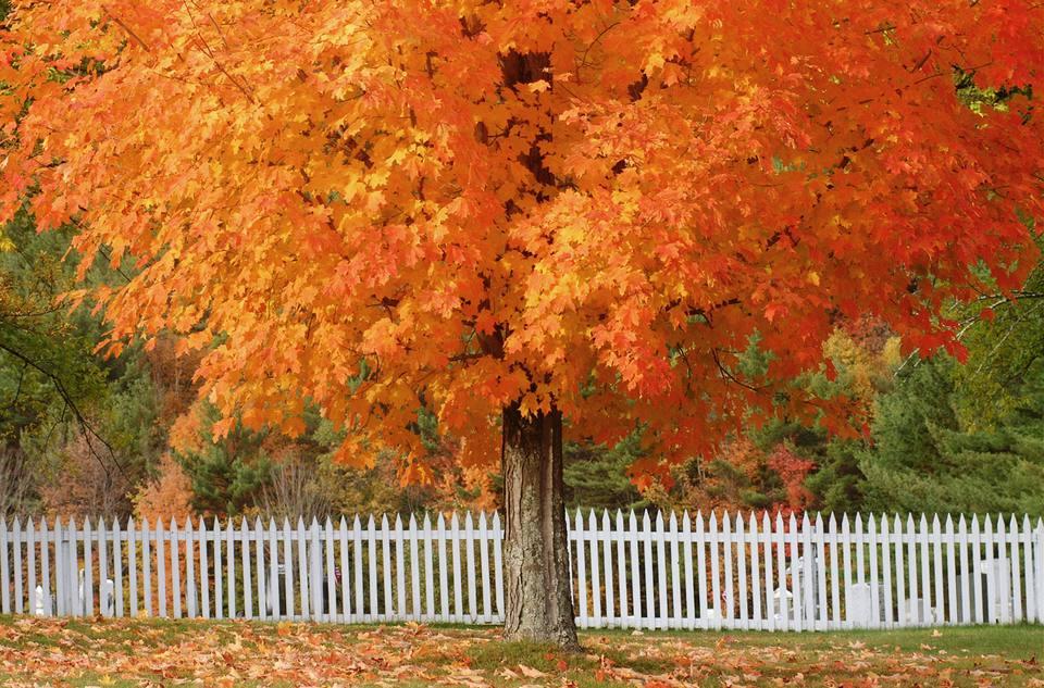 Sugar maple with orange fall leaves.