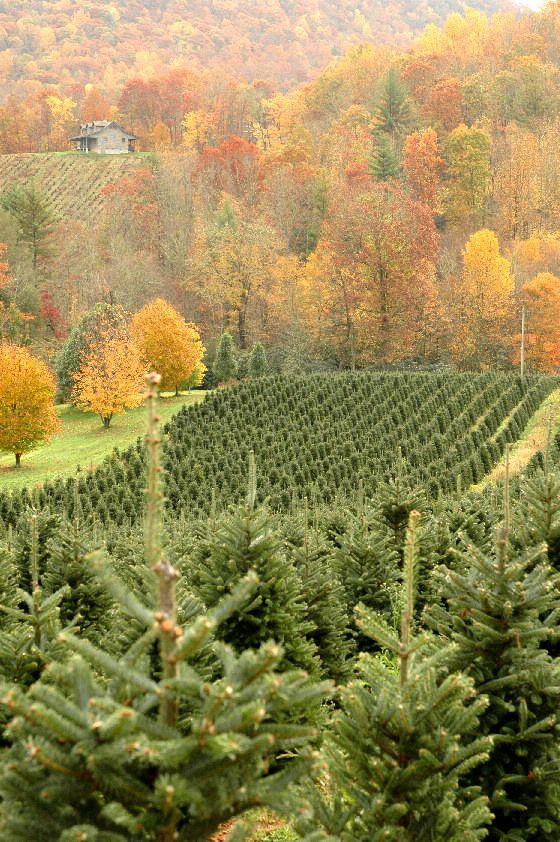 Frazier Fir Christmas Tree Farm in Autumn