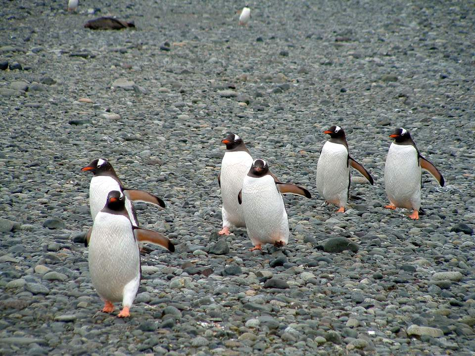 March of the Penguins in Antarctica