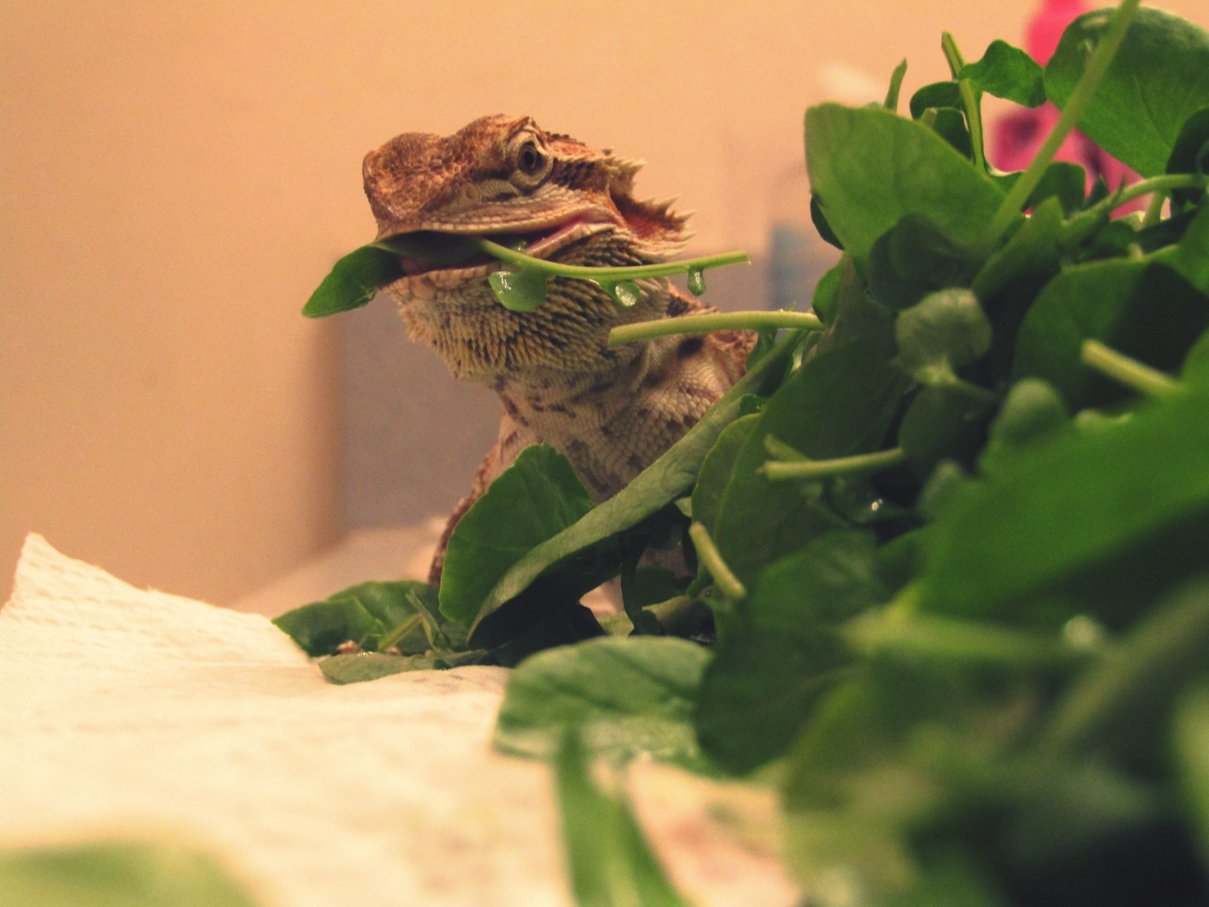 How To Train A Bearded Dragon Eat Vegetables