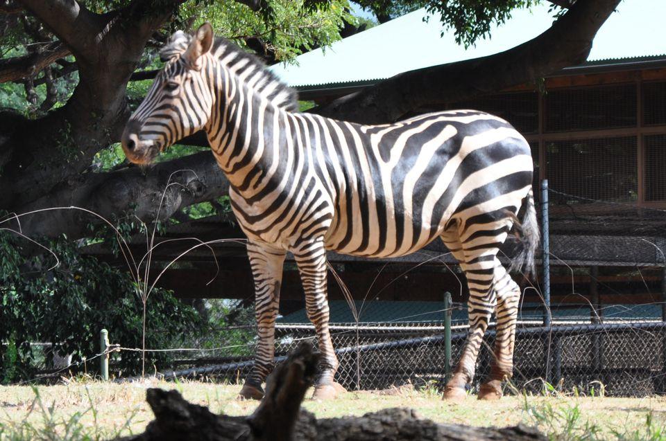 Zebra at Honolulu Zoo