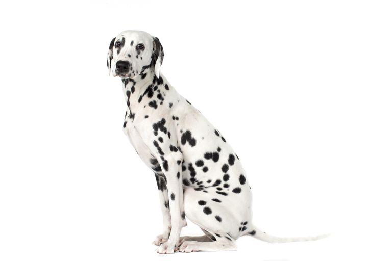 a dalmatian dog sitting, against a white background.