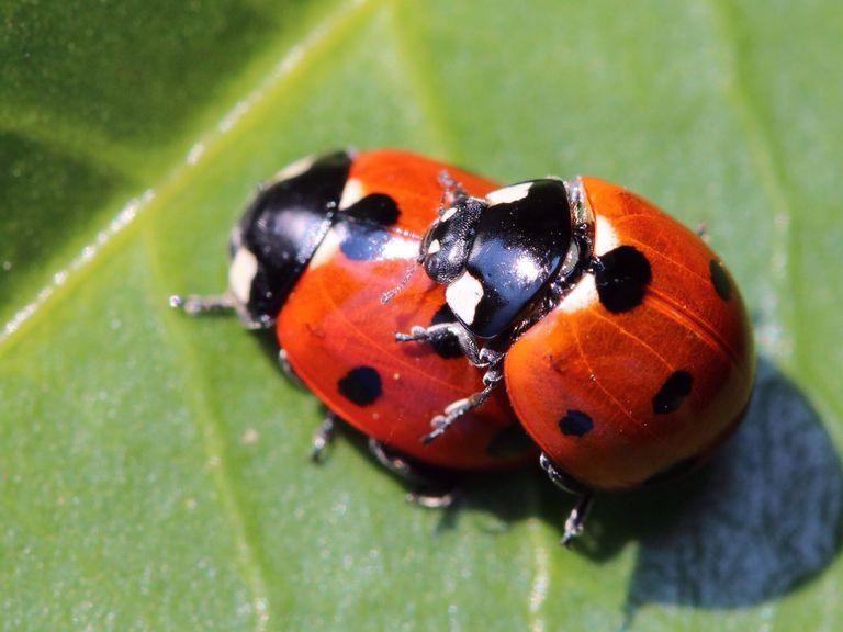 Lady beetles mating on a leaf.