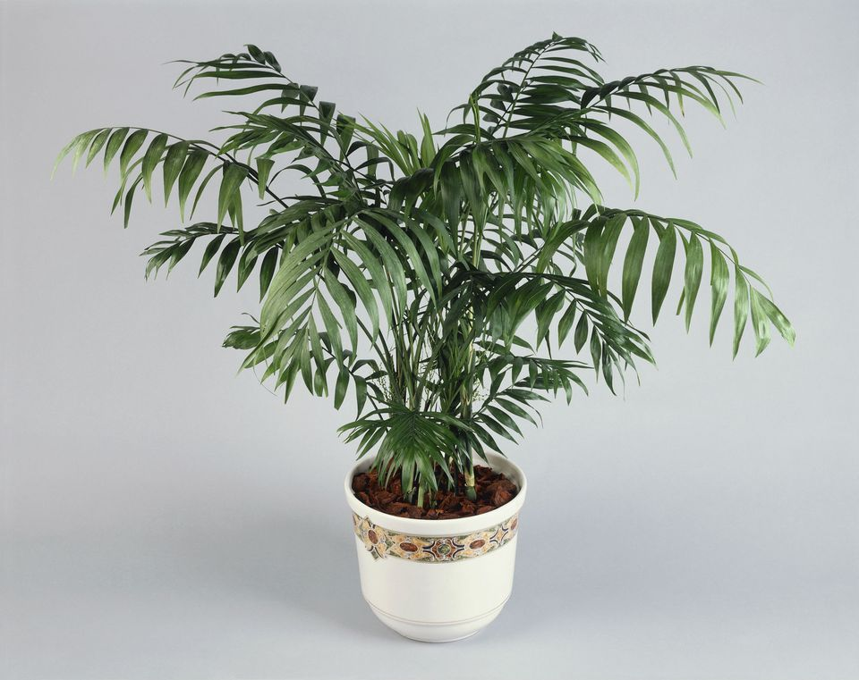 Palor palm plant indoor care for Indoor plant maintenance