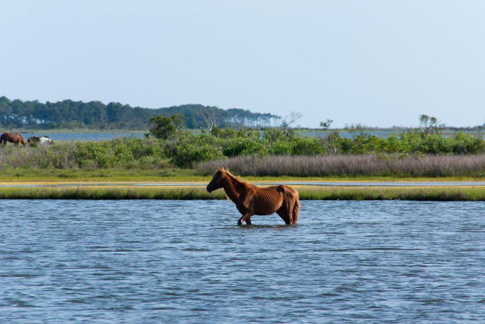 Assateague Pony