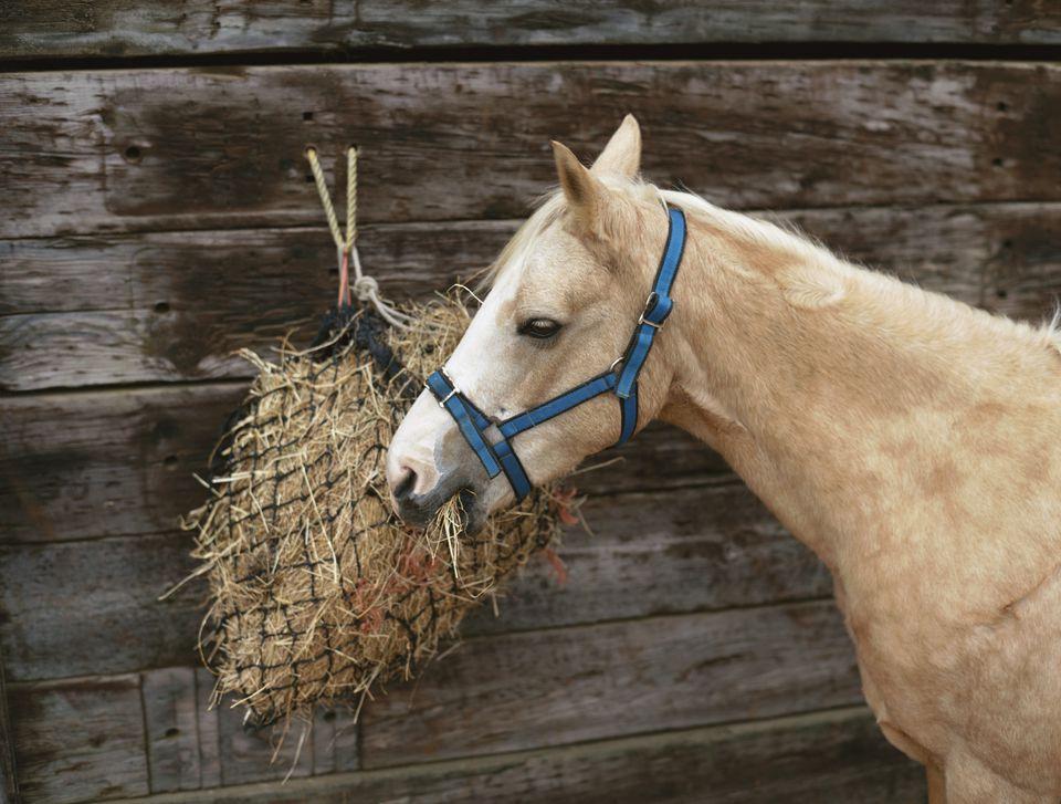 Palomino pony eating hay from a net.