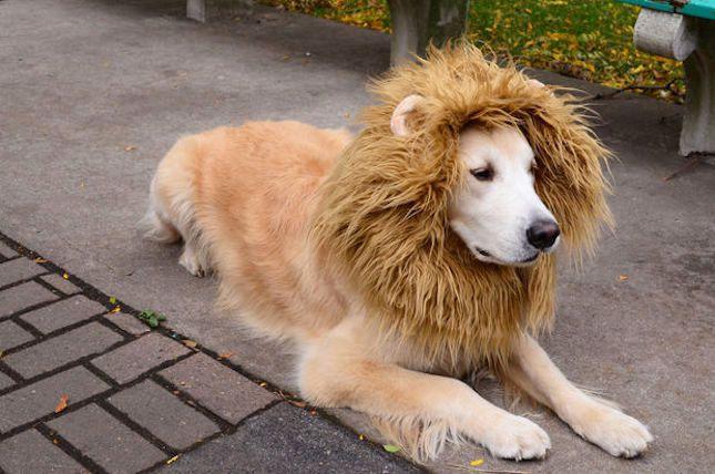 DIY Lion Dog Halloween Costume