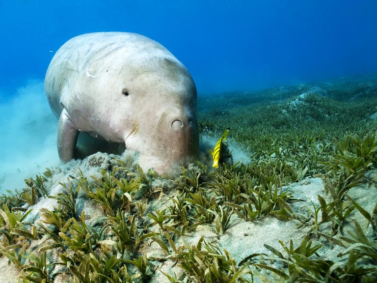 Dugong and Cleaner Fish on Seagrass