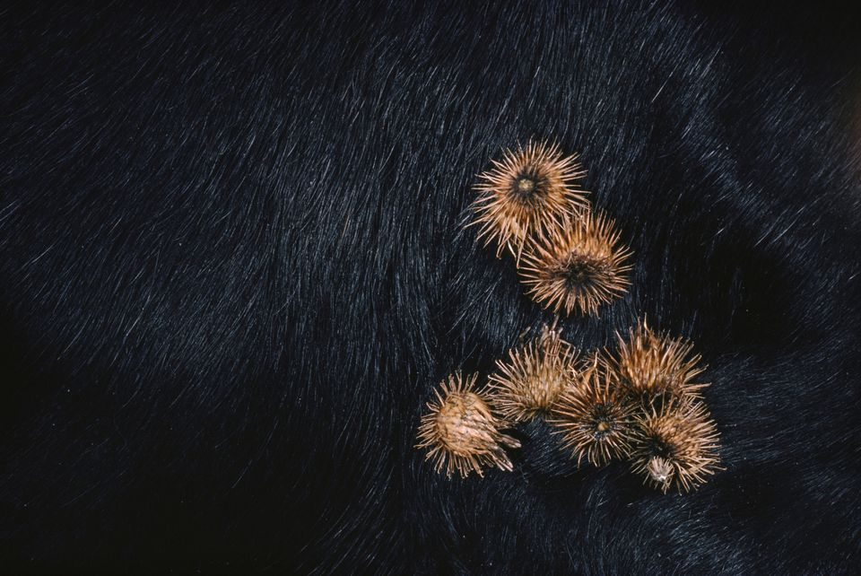 burrs arctium sp. on dogs fur