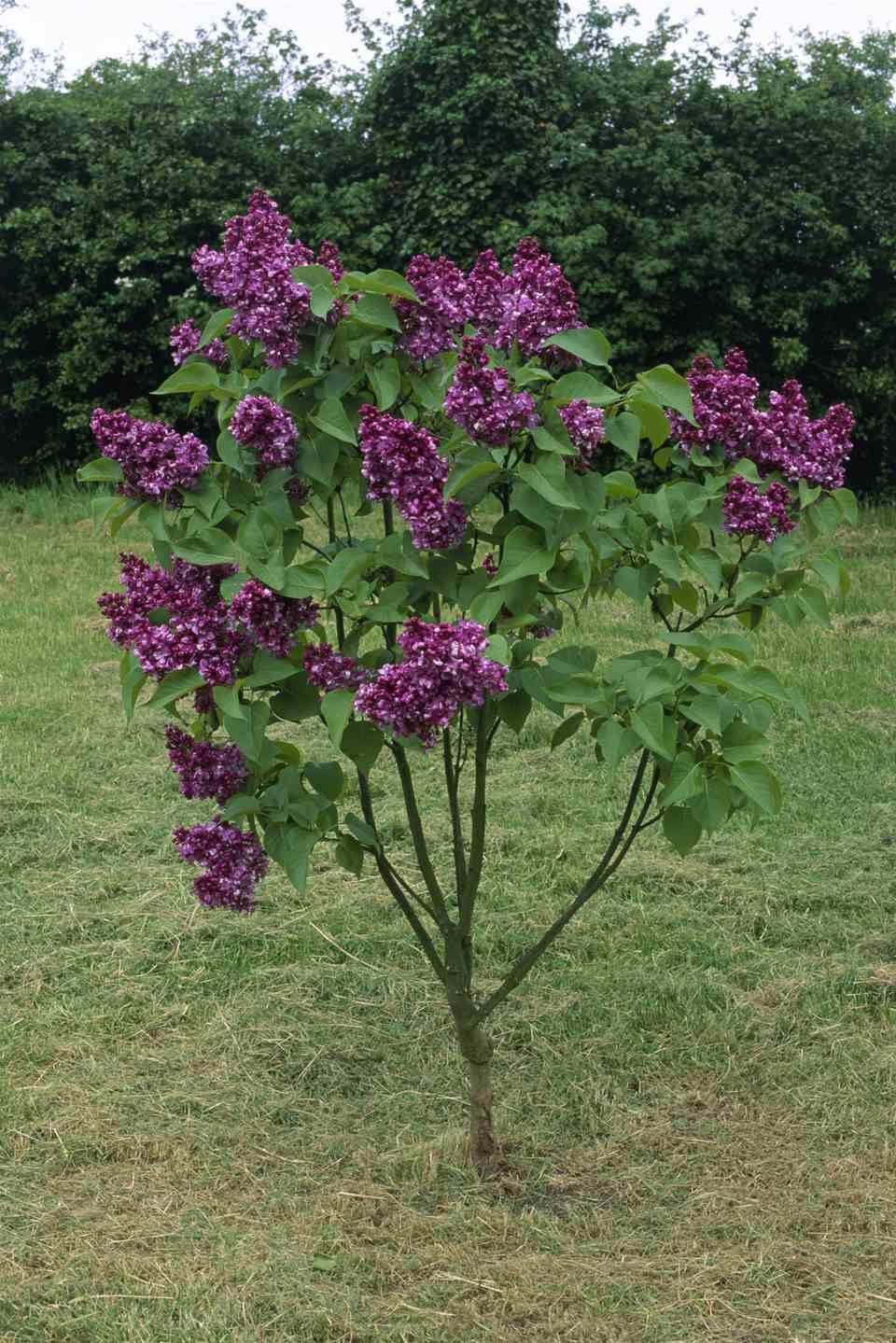 15 beautiful lilac varieties for Small tree varieties