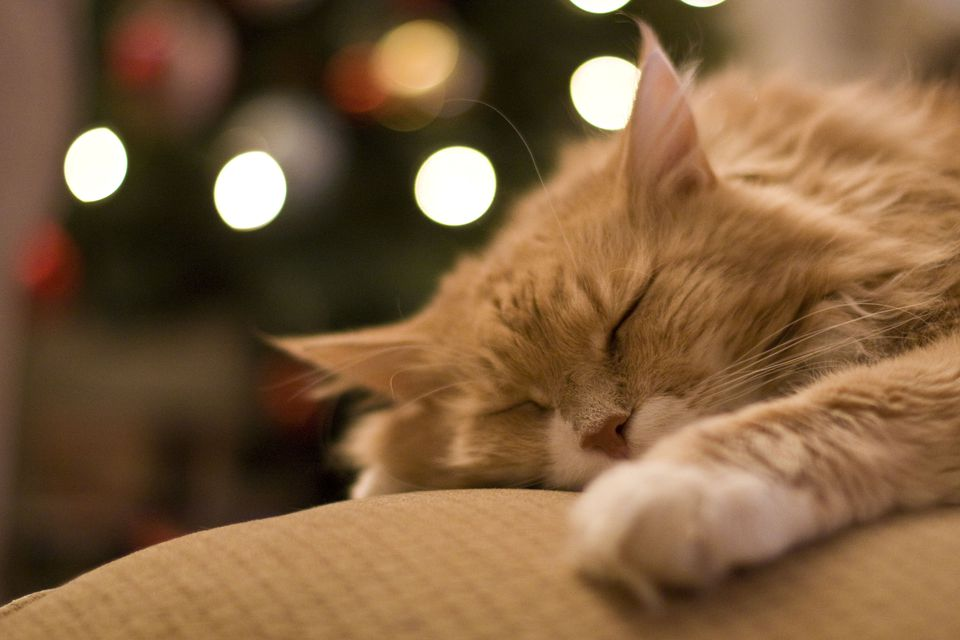 Sleeping cat in front of christmas tree