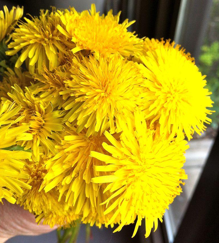 Flores de diente de león para comida y medicina