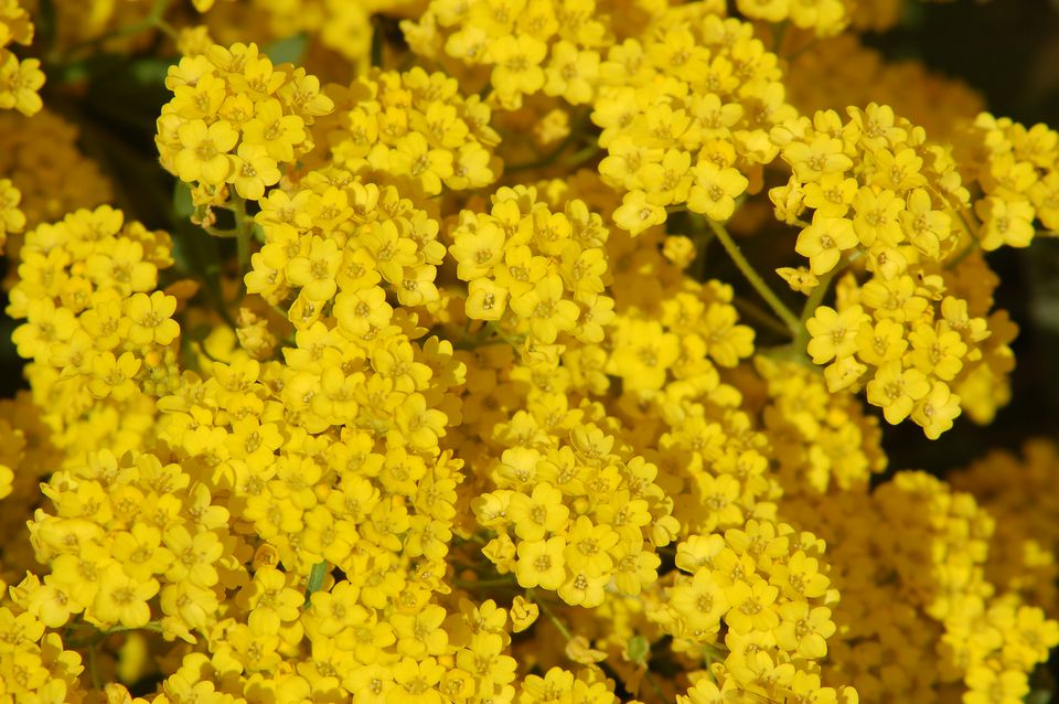 Unlike white alyssum, yellow alyssum, pictured here, is a perennial. It's good for stone walls.