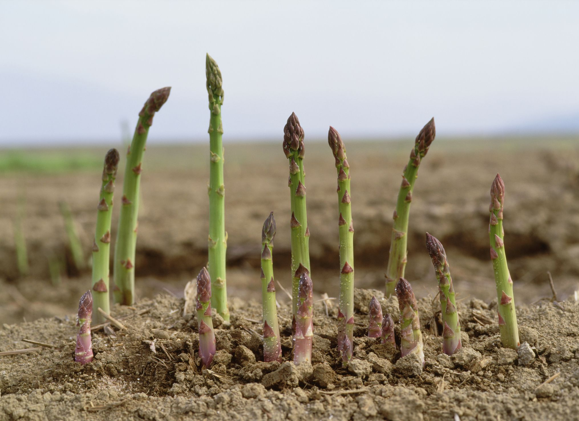 How To Grow Asparagus Tips And Tricks