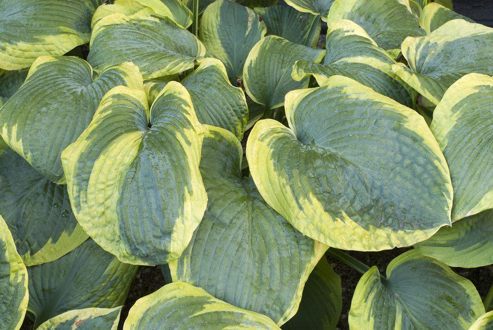 Variegated leaves of Frances Williams hosta plant.