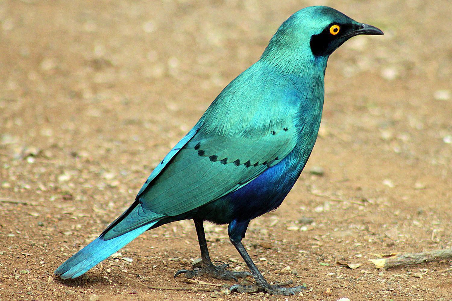 Greater Blue Eared Starling Lamprotornis Chalybaeus