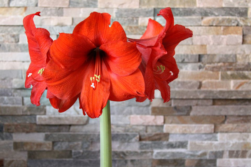 amaryllis flowers - Red Flowering House Plants
