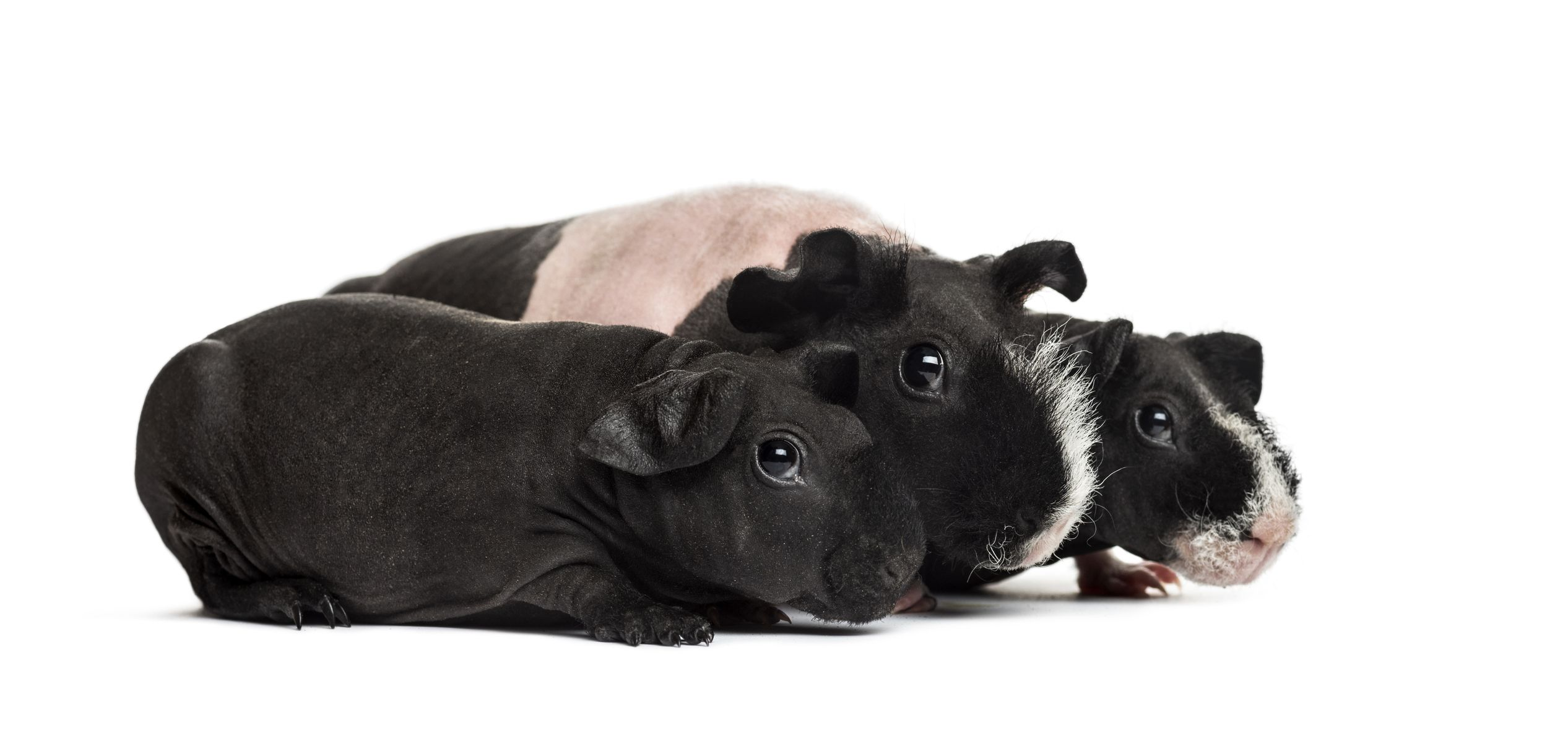Hairless Guinea Pigs Skinny Pigs And Baldwins