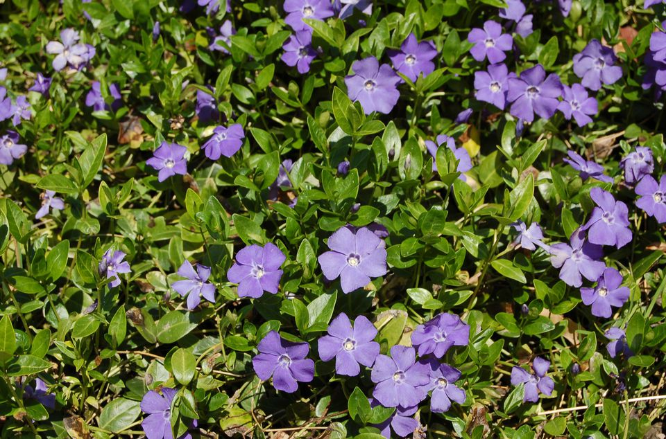 Image of Vinca minor ground cover in bloom.