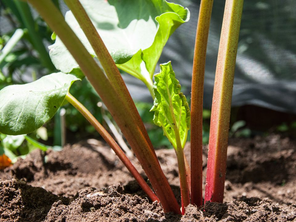 A closeup of growing rhubarb
