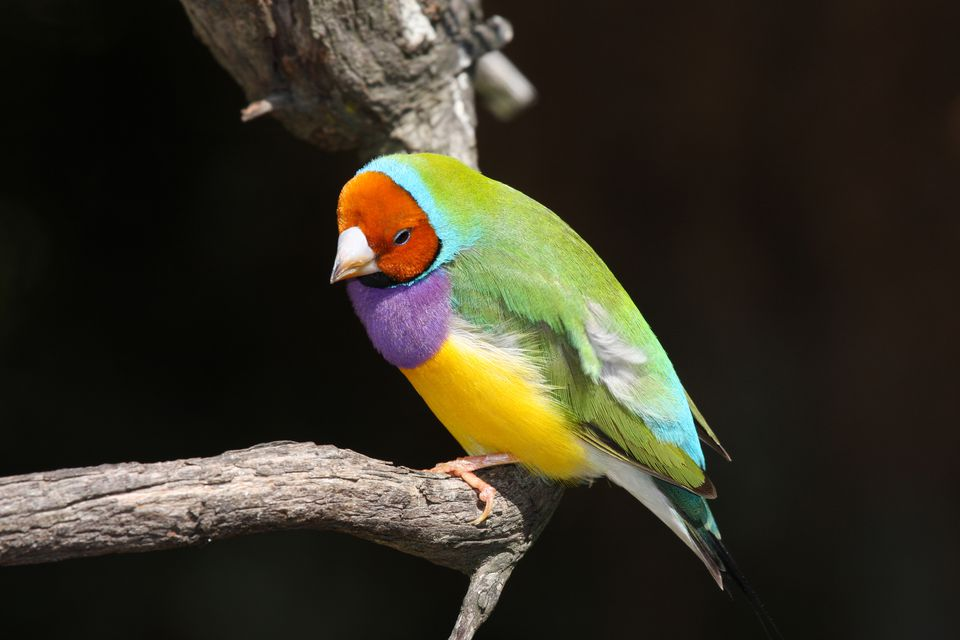 Gouldian Finches Appear To Be made Of Stained Glass