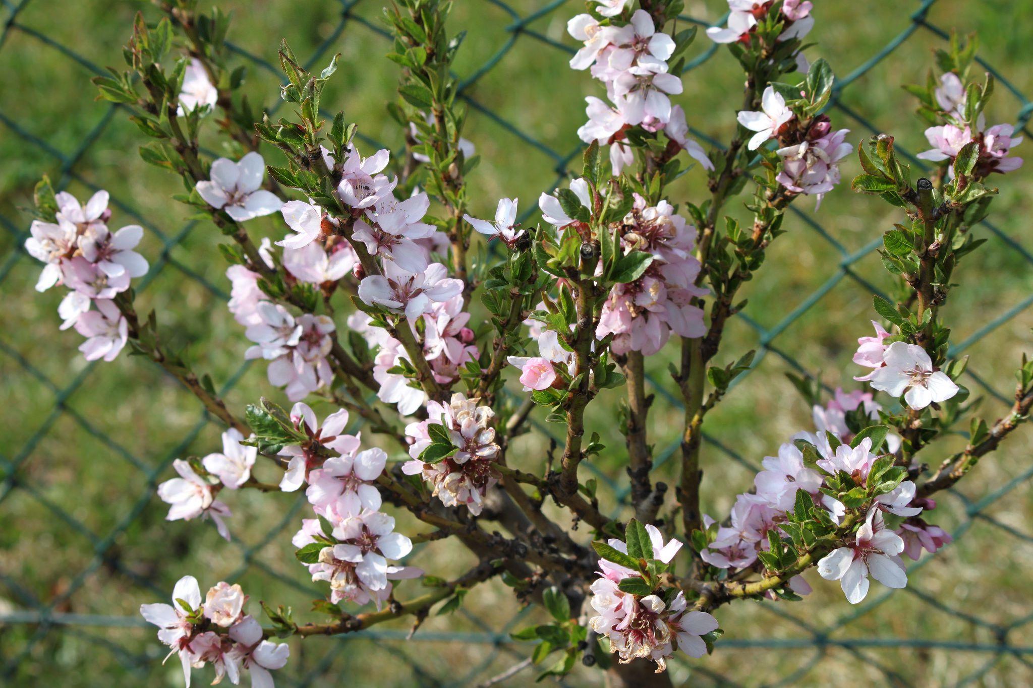 Dwarf Flowering Almond Bush Has Giant Impact in Spring