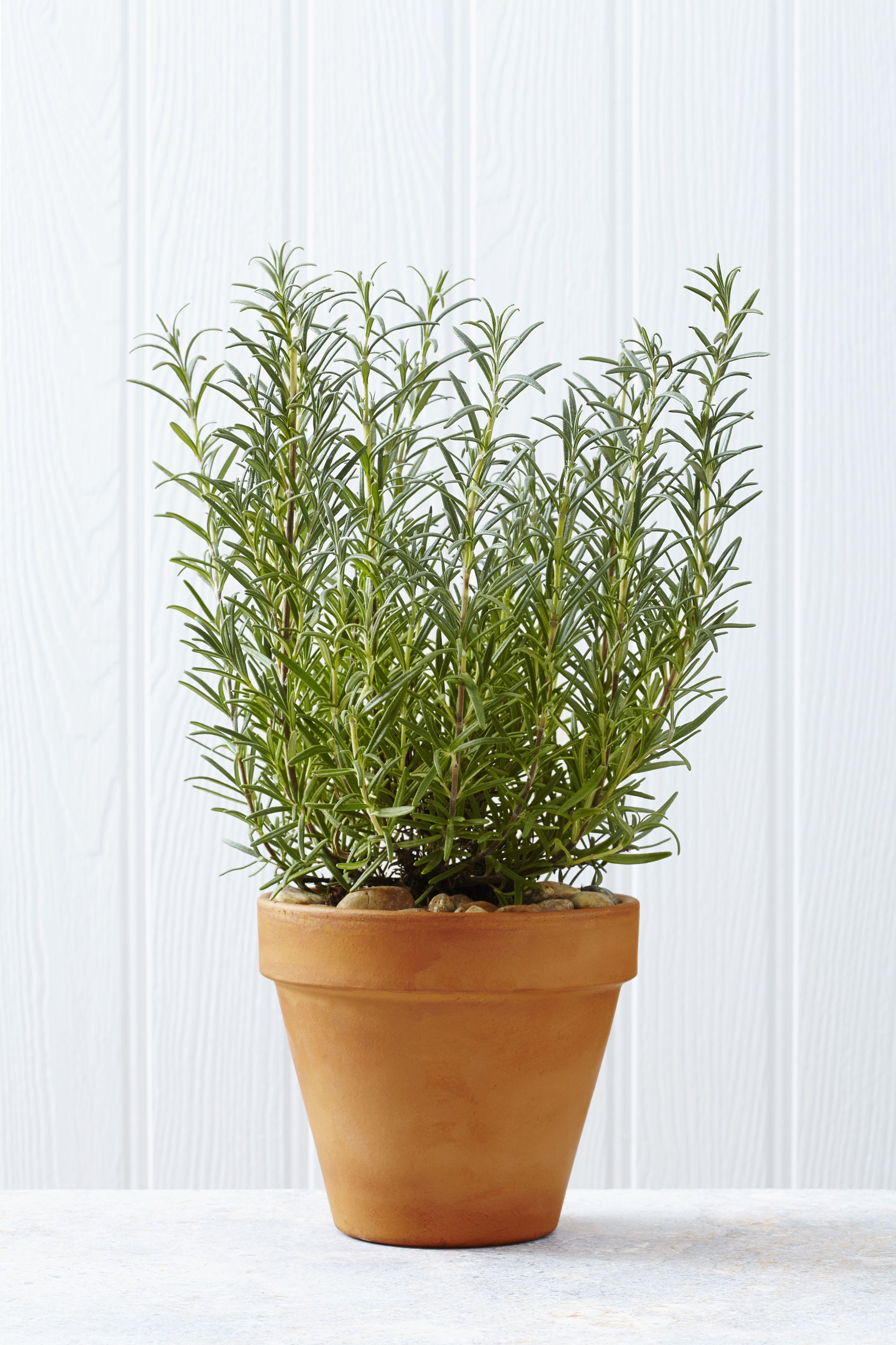growing thyme indoors conditions varieties u0026 more