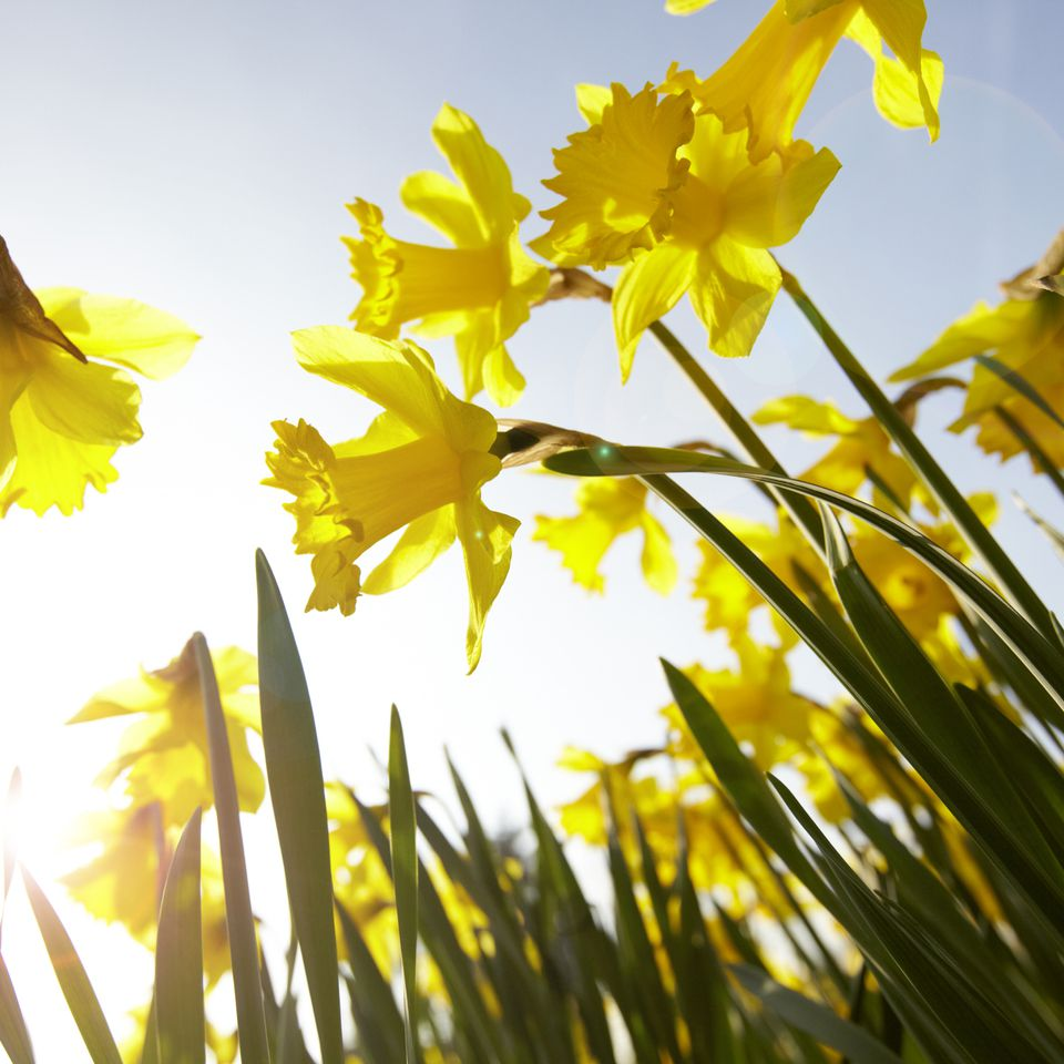 Low angle view of yellow daffodils against sunny blue sky