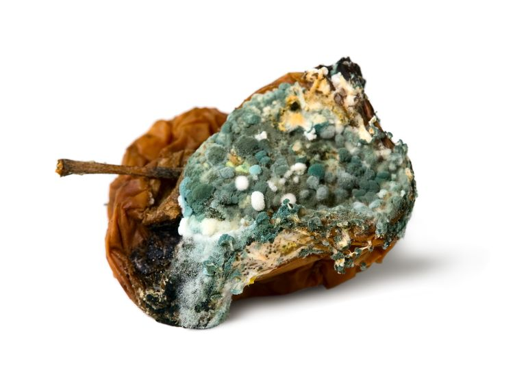 The mold used to make penicillin grows on rotting fruit and bread.